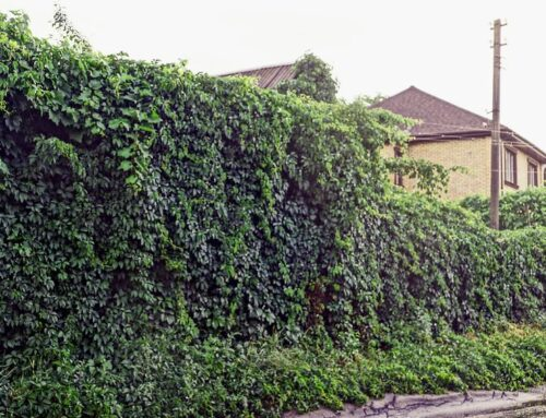 The Hazards of Overgrown Ivy and How to Remove it